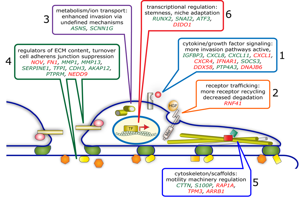 Schematic depiction of functional categories and primary component genes comprising the HGR/MET invasive program. Genes modulated 2-fold or greater in PC3Mcells by treatment with HGF family members were subjected to Ingenuity Pathway Analysis (IPA). IPA revealed significant overlap between a subset of 32 gene modulation events and functional networks associated with cell migration, invasion and tumor metastasis. These 32 genes (upregulated in red, downregulated in green) were organized into the 6 functional categories depicted above which act on specific subcellular systems to provide a robust and enduring motogenic response.