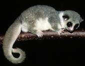 Dental problems in a lesser dwarf lemur
