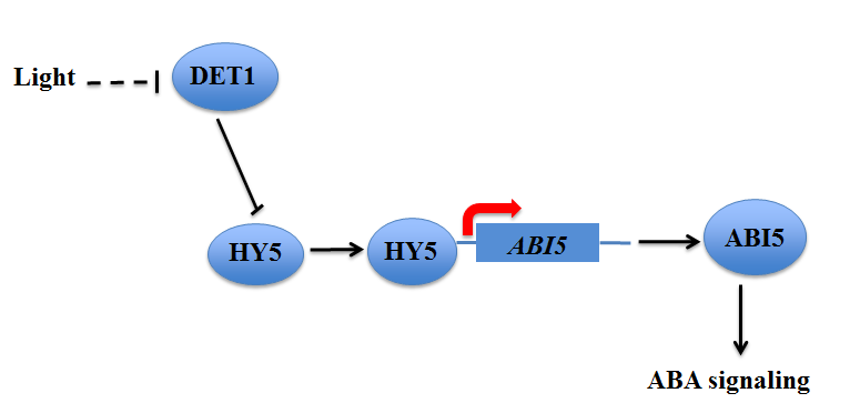 Fig. 1. Model for basis of det1 ABA sensitive germination In det1 mutants there is an excess of HY5. HY5 increases ABI5 levels resulting in increased ABA signaling and reduced germination.