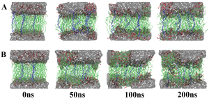 Fig. 2. Simulating the stabilising effect of different membrane insertion molecules (MIMs) over time at 0, 50, 100 and 200 nanoseconds. A is treated with COE1-5C, B with DSSN+. Butanol molecules are illustrated in red, MIMs in blue, water in gray and cell membrane molecules in green.
