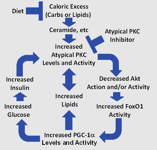 the vicious cycle in liver that fuels the obesity diabetes  in a series of papers a research team headed by dr robert farese at the tampa va hospital and the university of south florida showed in experimental