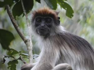 A red colobus monkey in Kibale National Park, Uganda. Photo credit: Ria Ghai