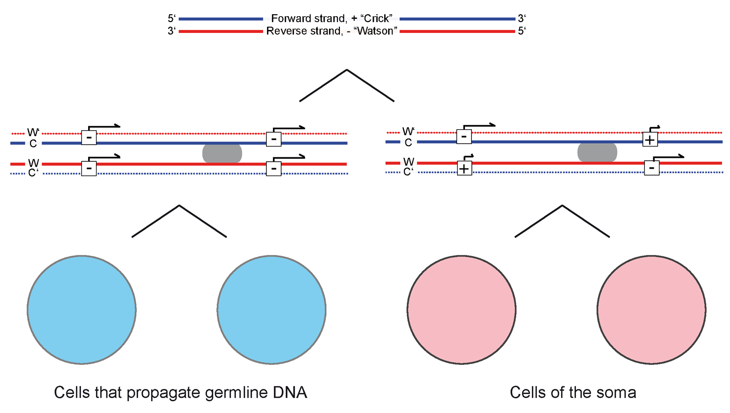 "Model for how G4 structures in DNA could generate different gene expression patterns in cells according to the ""silent sister"" hypothesis. DNA typically consists of two strands, a ""Watson"" and a ""Crick strand (top). Cells that propagate germline DNA in ciliates, flies and flatworms were shown to stain weakly with antibodies to G4 structures (bottom) in the paper by Hoffmann et al. Based on this observation it seems possible that the formation of G4 structures during DNA transactions such as replication and transcription is suppressed in cells of the germline compared to somatic cells. If G4 structures are not rapidly resolved during replication these structures could delay the deposition of epigenetic marks from the parental chromatid or could serve to recruit new epigenetic marks. The resulting epigenetic differences between sister chromatids could trigger differences in gene expression between daughter cells as predicted by the silent sister hypothesis. The role of DNA methylation in this context is puzzling and intriguing. On the one hand it is known that cytosine methylation stabilizes the bond between guanine and cytosine nucleotides and thereby stabilizes duplex DNA. On the other hands cytosine methylation could also stabilize G4 structures. So it may be hard to predict how the dynamic equilibrium between duplex and quadruplex DNA is shifted upon methylation of cytosines in and around a specific gene without taking information of strands and G4 motifs, next to the expression of various proteins that may bind and resolve G4 structures into account. Of note: G4 motifs were shown to be not randomly distributed in the genome. Their specific enrichment of G4 motifs at genes that promote growth is in line with the proposed role in differentiation."