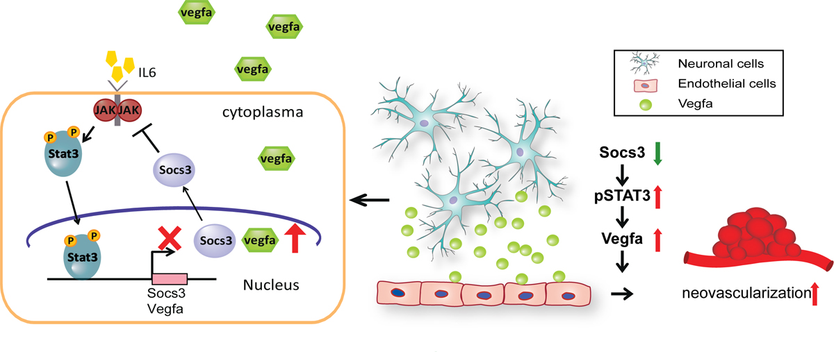 Schematic representation of neuronal/glial SOCS3 functioning as a modulator of angiogenic activation via VEGF signaling pathway. SOCS3 is one of STAT3 transcriptional target and can feedback inhibit STAT3 transcription activity through JAK kinase inhibition. Loss of SOCS3 decreased the inhibition of JAK kinase activity. This led to up regulation of phosphorylation of STAT3 by activated JAK kinase, then activated phosphor-STAT3 move to nucleus and enhance other downstream target genes, such as VEGF expression. Overexpressed VEGF from neuronal/glial cells may act on other cells, such as endothelial cells and lead to abnormal new vessel growth. Thus SOCS3 may be a new factor in modulating neurovascular crosstalk in regulating retinopathy and a potential drug target in developing future therapeutics to treat retinopathy.