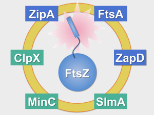 The Ring. FtsZ, the main component of the machinery responsible for bacterial division, is assisted by a set of proteins (framed in blue: activators; framed in green: inhibitors) that contribute to anchor it to the membrane, localise it at midcell, stabilise its structure and dispose of spent molecules when constriction is over.