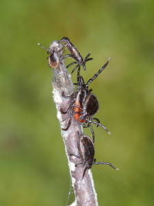 Fig. 1. Blood seeking Ixodes ricinus ticks using sensors on their front legs to sniff the air for chemicals emitted by humans or other animals (one nymph, one orange colored adult female, and 3 adult males).