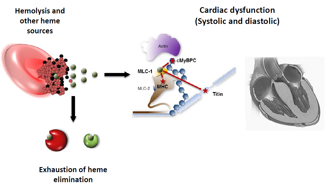 Heme An Old Player With A Novel Mechanism In Cardiac Muscle