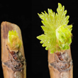 Oxygen affects buds burst in grapevine