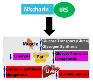 Fig 2: The activation of the IRS pathway by Nischarin increases glucose transport and glycogen synthesis in muscles. In fat cells it decreases lipolysis and increases glucose transport and lipogenesis. The liver experiences increased glycogen synthesis and lipogenesis but decreased gluconeogenesis.