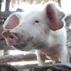 Parasites hidden in feedstuff – pigs also have to watch what they eat!