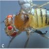 Conditional mutations in drosophila