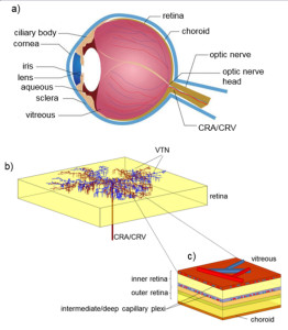 Fig.1 Model concept: a) Anatomical sketch of the eye; b) schematization of the retina: vascular tree network (VTN) embedded in the retinal thickness; c) subdivision into functional layers along the retinal thickness. The retinal circulation nourishes the inner retina via the central retinal artery (CRA). Blood is drained via venules converging into the central retinal vein (CRV).