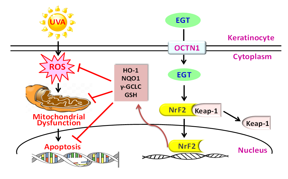 UVA-induced ROS, mitochondrial dysfunction, DNA damage was reversed by EGT pretreatment via Nrf2/ARE-mediated antioxidant status in human keratinocytes.