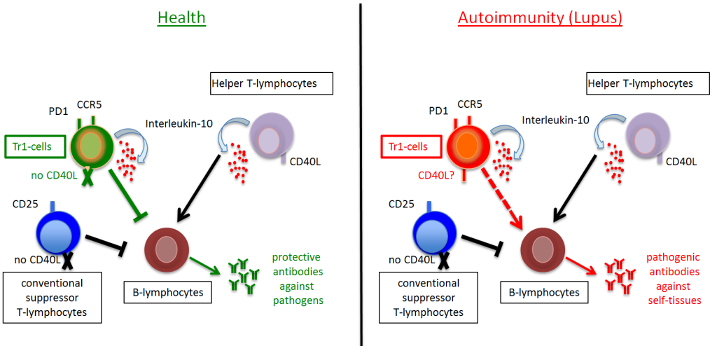 Proposed model how loss of suppressor functions by Tr1-cells could lead to uncontrolled autoantibody production in lupus autoimmune disease. In healthy individuals CD40L+ helper T-lymphocytes that produce B-helper cytokines like Interleukin-10 induce protective antibody secretion by B-lymphocytes against pathogenic invaders like viruses or bacteria. CD40L- suppressor T-lymphocytes – conventional ones and Tr1-cells – prevent the inappropriate induction of autoantibodies against the body's own tissues. In contrast, in autoimmune diseases like lupus Tr1-cells loose their suppressive functions and this is likely to contribute to the aberrant production of pathogenic antibodies against healthy tissues. Since Tr1-cells produce B-helper cytokines like Interleukin-10 they might even directly induce autoantibodies when they acquire CD40L expression.