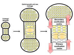 Fig. 1. The skeleton is first formed as a cartilage model. When complete, chondrocytes in the central regions undergo a molecular switch to enlarge in size. They also produce a new form of cartilage which allows mineralisation with calcium and phosphate. In the primary ossification centre, osteoblast cells replace chondrocytes and form proper bone. Remaining chondrocytes reside at the end of the bone in the joints. They maintain their population in the secondary ossification centre.