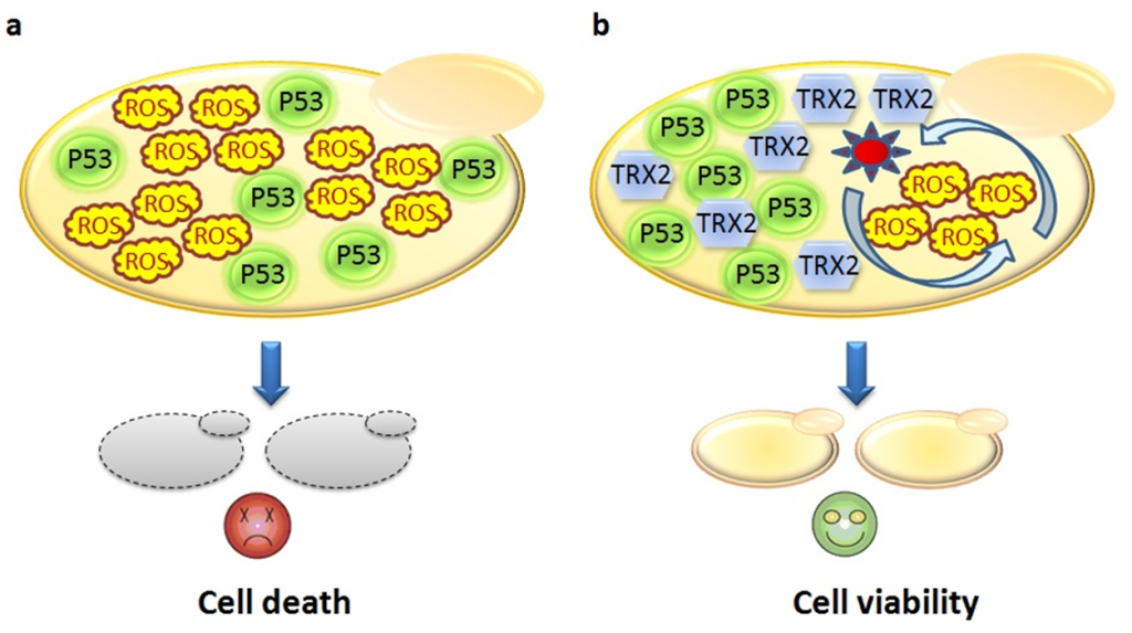 Schema of the results of the cell yeast transformation by the human tumor suppressor p53 gene alone and cell transformed by both p53 gene and TRX2 yeast gene. The yeast cell expressing the human gene p53 lead to reactive oxygen species (ROS) accumulation and finally cell death by apoptosis (a). While, the yeast cell expressing both human p53 gene and yeast TRX2 gene, were resistant to the ROS effect by scavenging ROS via antioxidant system conferred by TRX2 resulting to the cell viability (b).