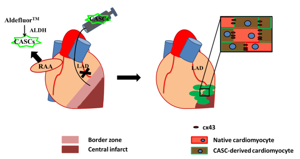 CASCs preserve cardiac function after myocardial infarction via myocardial regeneration.