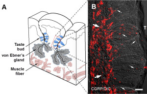 Fig. 1. CGRP immunohistochemistry in mouse vallate papillae. A, Schematic drawing of a lingual slice containing the vallate papilla. Red box represents approximate position of the taste buds in B.
