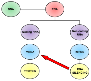 Fig. 2. DNA is the blueprint of our cells. It codes for protein through a set of instructions known as messenger RNA (mRNA). DNA also produces molecules involved in regulatory control to maintain the cell. MicroRNAs (miRNAs) are one type of an enormous family of non-coding RNA molecules that achieve this maintenance through 'RNA silencing'.