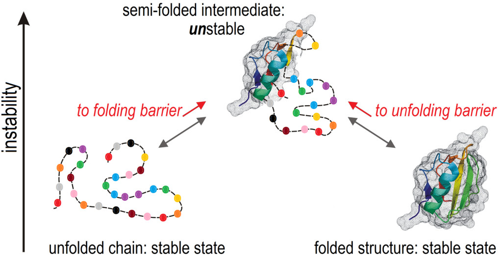 Fig. 1. Interconversion of two stable states of the protein chain via an unstable semi-folded intermediate. The colored helix, strands (strips) and loops (bold lines) show the chain fixed in the folded (right) or semi-folded (middle) structures; the globules are dotted. The broken line shows the structureless chain (left) and unfolded parts of the intermediate. The chain links (color beads) are gene-encoded. The most unstable semi-folded state acts as the free-energy barrier at the folding and unfolding pathways. Instability of the folding intermediatas, which is typical of proteins, results from the additional (by natural or artificial selection) reinforcement of the folded structures