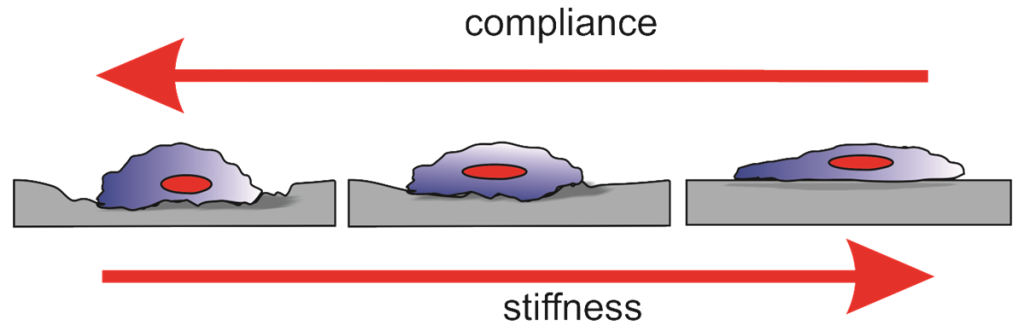 Fig. 1. Cells respond to the softness or compliance and hardness or stiffness of tissues around them.