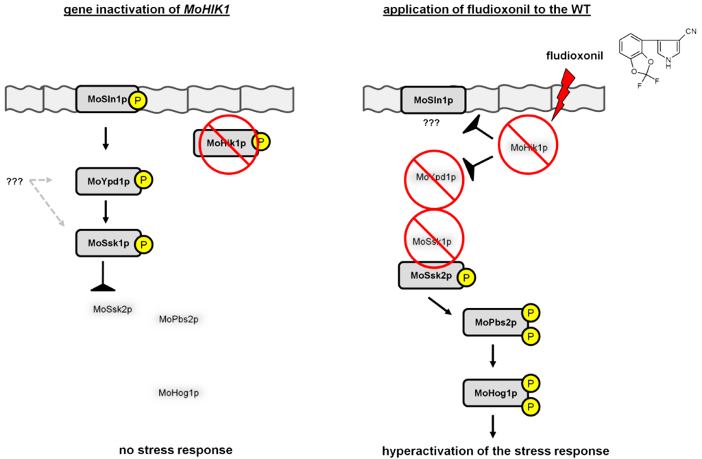 Fig. 1. Comparison of the signal transduction in the Magnaporthe oryzae HOG signaling cascade in the mutant strain ΔMohik1 and in the WT after application of fludioxonil. After a single disruption of MoHik1p the phosphorylation pattern of MoYpd1p and MoSsk1p can be partly rescued by MoSln1p. The response regulator MoSsk1p is phosphorylated under normal environmental conditions and the MAPK cascade MoSsk2p-MoPbs2p-MoHog1p is inactive. Fludioxonil treatment leads to inhibition of MoHik1p and a subsequent dephosphorylation of all the signaling components of the phosphorelay system results in a complete dephosphorylation of MoSsk1p. Therefore, the MAPK cascade MoSsk2p-MoPbs2p-MoHog1p is hyperactivated and that results in lethality