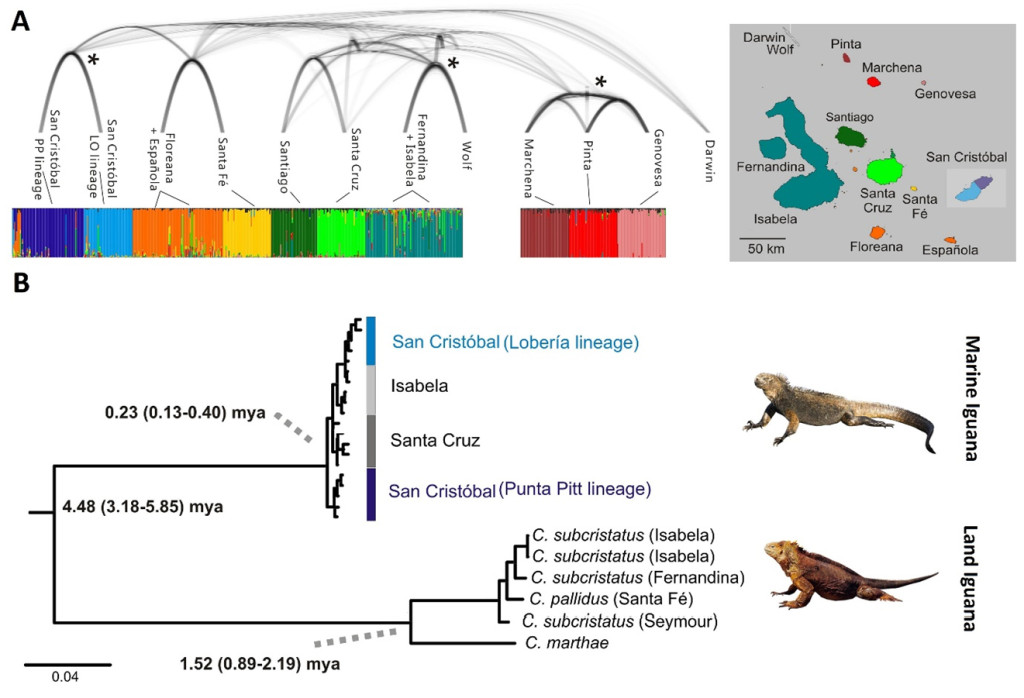Fig. 1. Population structure across the Galápagos archipelago in marine iguanas, showing genetically separate units and their relationships (A). Phylogenetic relationships within the two types of Galápagos iguanas, showing the formation of new species in land iguanas (C. marthae) in contrast to a lack of clear species formation in the marine iguana (B).