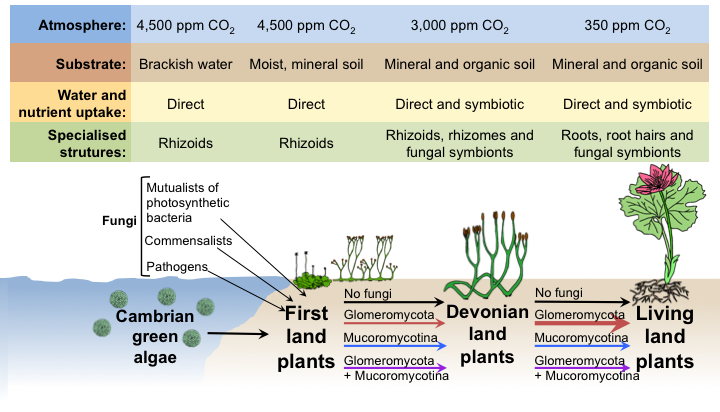 A model for the evolution of plant-fungal mutualisms leading to the greening of the Earth.  Arbuscular mycorrhizas are formed with Glomeromycota fungi, and the newly discovered symbiosis with Mucoromycotina fungi.