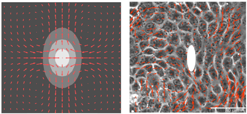 Fig. 1. Generation of a dipole-­‐like flow field due to a cell division event modelled as a local increase in concentration (left) and experimental measurements of the flow field around a dividing cell (right).