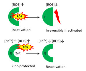 Fig. 2. ROS causes irreversible damage to particular groups within the enzyme (E). In the presence of zinc the irreversible inactivation is prevented and it is possible to reactivate the enzyme.