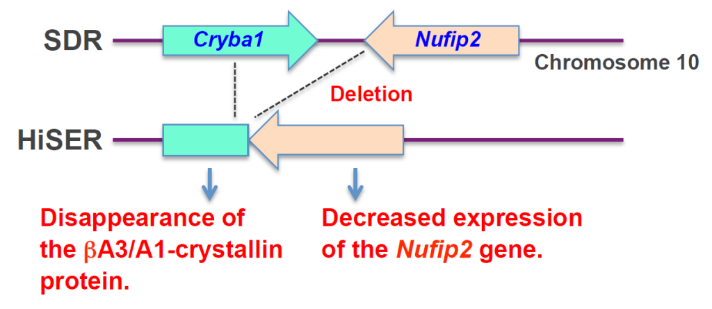Fig. 2. Genetic events in HiSER. Partial deletion of the Cryba1 gene resulted in disappearance of the A3/A1 protein and lowered expression of the Nufip2 gene.