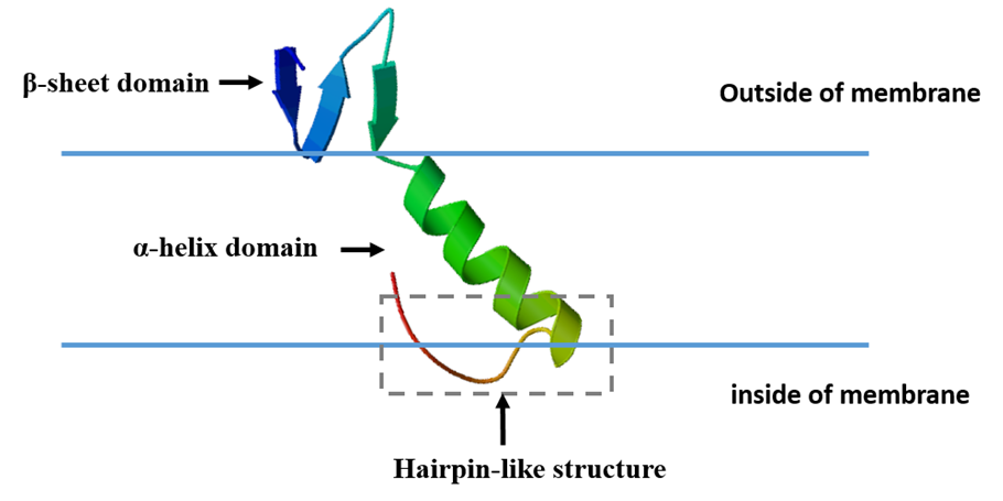 Fig. 2. Model of the insertion of pediocin PA-1 into target membranes.