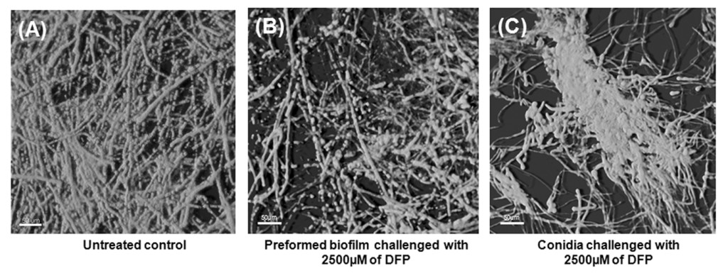 Fig. 2: Microscopic images showing DFP's reduction in biofilm density and organization