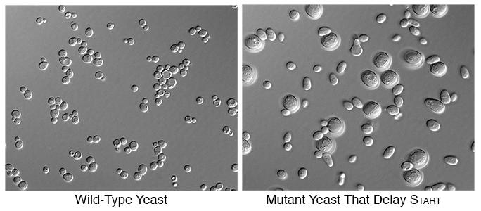 Fig2-yeast-Adames