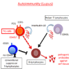 A functional defect of unconventional suppressor T-lymphocytes might lead to disease progression in lupus autoimmune patients