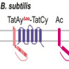 A Tat ménage a trois – when it comes to Tat secretion two Tat's are essential, but the third one makes it that much better