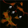 How do neurons develop and regenerate?