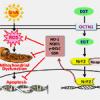 Ergothioneine prevent UVA – induced skin damage through its potent antioxidant property