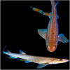 Mother sharks transfer radioactive contaminants to their young