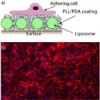 A promising biointerface for endothelial cells assembled from mixed poly(dopamine) film