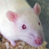 Rat model of small opaque eyes open the door to eye research