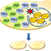 Over-expression of TRX2 reduces p53-mediated cell death in yeast