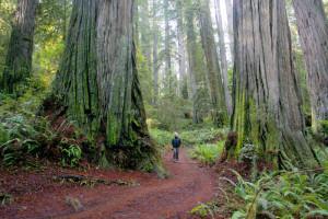 redwoods_big_Veit