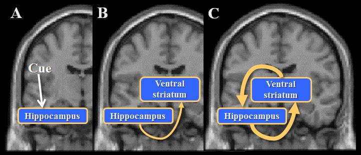 Fig. 2. Memory and reward systems coproduce nostalgic experiences A) When a cue is input into the hippocampus, its associative memory is automatically retrieved from the memory system. B) The retrieved memory facilitates its associated reward-value processing in the ventral striatum. C) The hippocampus and the ventral striatum coproduce the nostalgic experience accompanied by warm feelings.