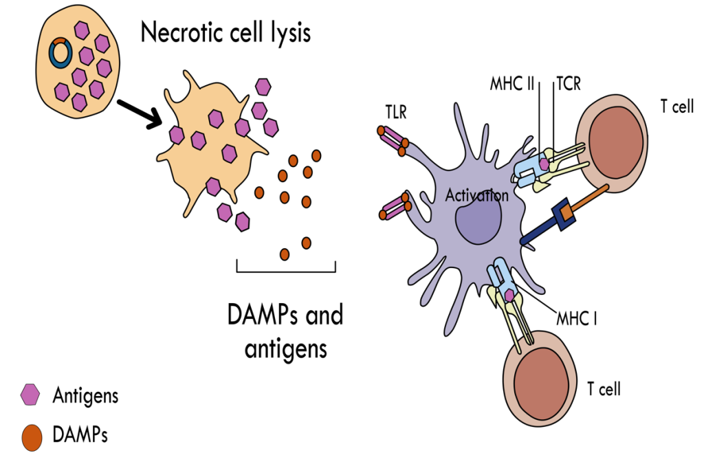 Mechanism of antigen presentation for generation of T-cell immune response following DNA vaccination Plasmid DNA is taken up by somatic cells where antigen is expressed at high levels. The subsequent expression of a cytolytic protein results in necrosis in vaccine targeted cells and in release of a range of DAMPs as well as the HCV antigens. The DAMPs are taken up by APCs, after recognition by pattern recognition receptors (PRR) including toll-like receptors (TLR). The APCs become activated and induce an inflammatory immune response. These activated APCs also phagocytose the released antigens, which are cross-presented to the adaptive immune system triggering a T-cell immune response.