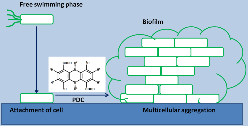 Fig. 1. This figure shows Phenazine 1,6 di-carboxylic acid (PDC) produced by one Pseudomonas strain helps another Pseudomonas strain to make prominent biofilm.