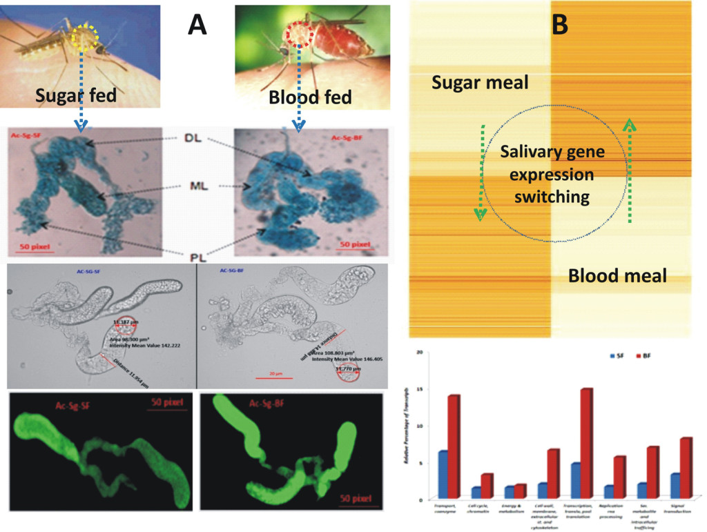 Fig1. Morphological and cellular (A); Molecular (B) changes of mosquito salivary glands in dual feeding status
