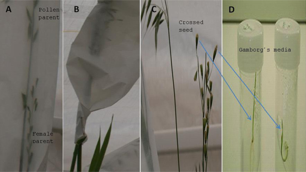 Fig. 1 Wild oat hybridisation procedure for generating F1 seed