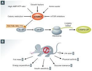 mTORC1 integrates different