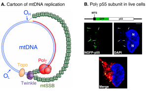 Fig. 1. Human mtDNA replication. A. Cartoon of the key components of the mitochondrial replisome. B. Live cell confocal fluorescence microscopy of HEK-293 cells harboring GFP-p55.